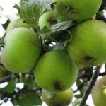 Æblemuffins