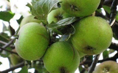 Leg: Spis æble i vand